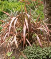 Phormium Mixed 20 Seeds-Purple,Green,Dwarf,Variegated Leaf